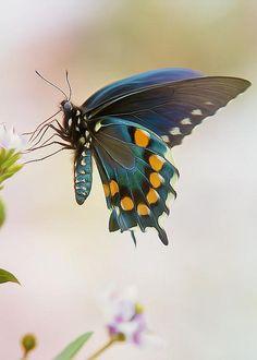 Spicebush Swallowtail Butterfly ~ Photo by Bill Tiepelman