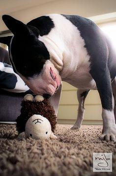 Ace vs. Shaun the Sheep #bullterrier #dog