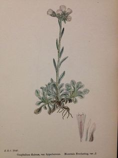 19thc Hand Coloured Sowerby Botanical Engraving Mountain Everlasting B DCCXLVIII