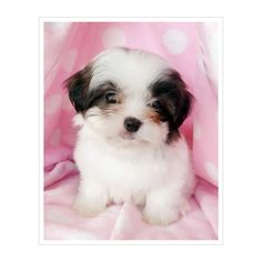 Shih Tzu Puppies For Sale at TeaCups Puppies South Florida ❤ liked on Polyvore