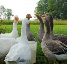 Pilgrim Geese | Flickr - Photo Sharing! Grey are girls & white are the boys.