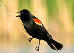 One of the most abundant birds across North America, and one of the most boldly colored, the Red-winged Blackbird is a familiar sight atop cattails, along soggy roadsides, and on telephone wires. Glossy-black males have scarlet-and-yellow shoulder patches they can puff up or hide depending on how confident they feel. Females are a subdued, streaky brown, almost like a large, dark sparrow. In the North, their early arrival and tumbling song are happy indications of the return of spring.