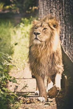 Asiatic-Lion-Walk-in-the-Park by CelticOrigins Photography, via Flickr