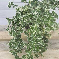 Weißbunte Kriechspindel Emerald Gaiety - Euonymus fortunei Emeralds Gaiety günstig online kaufen