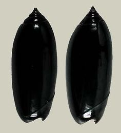 oliva shell | Oliva (Oliva) oliva gratiosa (f)