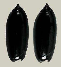oliva shell   Oliva (Oliva) oliva gratiosa (f)