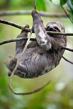 Il bradipo è uno degli animali più singolari dell'#Amazzonia ed è noto per la sua lentezza: pensate che si  muove ad una velocità massima di circa 0,24 km/h e dorme circa 20 ore al giorno! Questo perché, a differenza degli altri mammiferi, non riesce a mantenere costante la temperatura del suo coro che può variare da 24° C a 33°C.