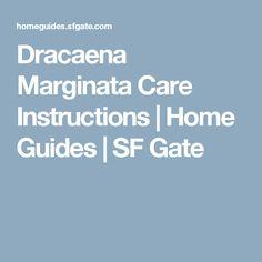 dracaena marginata care instructions