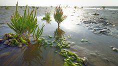 Schlick, so weit das Auge reicht: Das Wattenmeer ist das größte gezeitenabhängige Feuchtbiotop der Welt. 2009 schaffte es die grenzüberschreitende Naturerbestätte auf die Liste der UNESCO. Das einzigartige Feuchtgebiet in der Deutschen Bucht bietet Millionen von Zugvögeln Lebensraum. Die Landschaft ist geprägt von den Gezeiten: Zweimal täglich wechseln sich Hoch- und Niedrigwasser ab und formen den Meeresboden, der mit seinem geringen Gefälle nur langsam zum offenen Meer hin abfällt. Das…