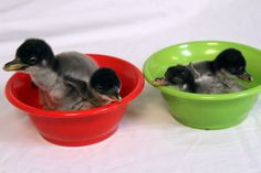 Just in time for the holidays, four Gentoo Penguin chicks – the first of the 2013 breeding season – have hatched at Moody Gardens in Galvest...