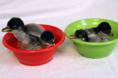 Bowls of penguins