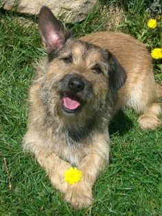 Border Terrier, Cairn Terrier, Dackel, Jack Russell Terrier