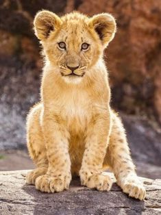 Beautiful Cats, Animals Beautiful, Cute Baby Animals, Animals And Pets, Big Cats, Cute Cats, Images Roi Lion, African Cats, Le Roi Lion