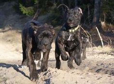 #cane #corso #puppies