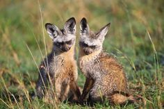 The bat-eared fox is aptly named, not just because of its 5-inch ears, but because of what it uses those ears for—like the bat, it listens for insects. On a typical night, the fox walks along the African Savannah, listening, until it hears the scuttle of prey. Although the fox eats a variety of insects and lizards, most of its diet is made up of termites. In fact, the bat-eared fox often makes its home in termite mounds, which it usually cleans out of inhabitants before moving in.