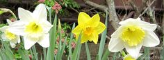 Daffodils at #Yawgoog's Sharpe Lodge.  Image by David R. Brierley.