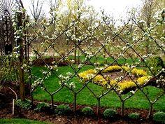 Poirier en croisillon et haie fruitière pour décoration jardin.