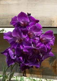 View picture of Gladiolus 'Violetta' (Gladiolus x hortulanus) at Dave's Garden.  All pictures are contributed by our community.