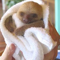 9820420ed0 Sleepy baby sloth Funny Animals
