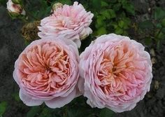 Abraham Darby® (Auscot) Abraham Darby, Rose, Flowers, Plant, Pink, Roses, Royal Icing Flowers, Flower, Florals