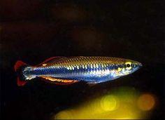 Atherinidae