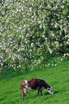 vache normande sous des pommiers en fleurs