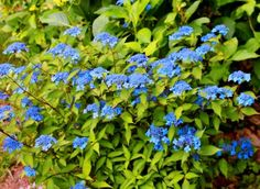 【楽天市場】ヤマアジサイ 藍姫 (アイヒメ):おぎはら植物園