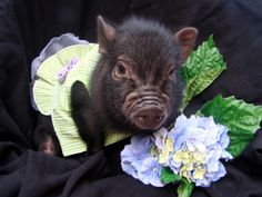 dwarf pigs | Whispering Hope Farm Life: Precious mini pot belly pigs available! Tiny Pigs, Small Pigs, Pet Pigs, This Little Piggy, Little Pigs, Dwarf Pig, Miniature Pigs, Pot Belly Pigs, Teacup Pigs