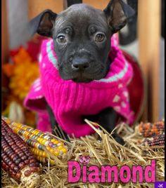 Pitbulls, Dogs, Animals, Animales, Animaux, Doggies, Pit Bull, Animais, Pit Bull Terriers