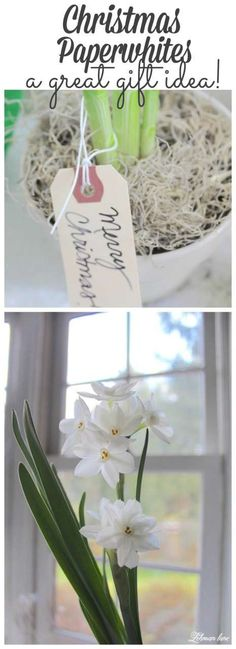 Paperwhites are the perfect Christmas DIY gift for teachers, freinds, family! Stop by to see how to grow your ownas gifts! It's easier than you think! #paperwhites #christmas http://lehmanlane.net