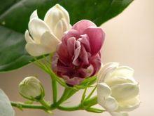 Semillas de flores en maceta. 10 unid doble colores jazmín semillas. interesante plantas(China (Mainland))