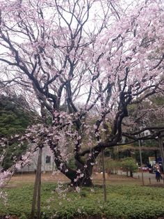 Viewing Cherry Blossoms in Tokyo One Tree, Pictures Of People, Cherry Blossoms, Great View, Tokyo, Japan, Garden, Plants, Fun