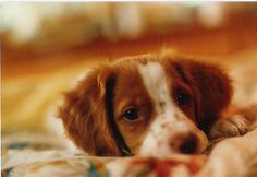 Brittany Spaniel Pup ~ Classic Look Cute Puppies, Cute Dogs, Dogs And Puppies, Doggies, Spaniel Breton, Brittany Spaniel Puppies, Funny Animals, Cute Animals, Cockerspaniel