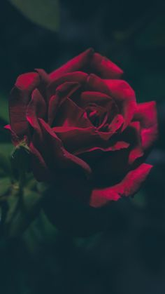 New Wallpaper Red Roses Iphone Wallpapers 17 Ideas Romantic Roses, Beautiful Roses, Beautiful Flowers, Wallpapers Rosa, Cute Wallpapers, Iphone Wallpapers, Beautiful Wallpapers For Iphone, Wallpaper Lockscreen, Trendy Wallpaper