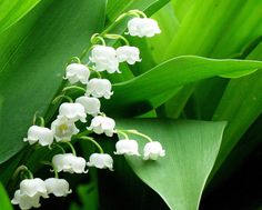 Muguet (Lily of the Valley) Oil is extracted from Convallaria majalis plant. Lily of the valley.
