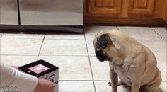 ...but aren't above getting scared of surprises. | 27 Reasons That Pugs Are The Sumptuous Queens Of Our Universe