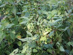 Krtičník hlíznatý- poměrně častá, ale málo sbíraná rostlina | Alena Hamplová Fruit, Garden, Plants, Garten, Lawn And Garden, Gardens, Plant, Gardening, Outdoor