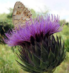 Globe Artichoke with a purple bloom & a butterfly