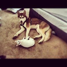 Attached at the hip, errrr paw. Best buds for life.  Photo viammhm01 #husky #siberianhusky #humor #funny #photography
