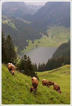 Mountain cows - Brülisau, Appenzell Innerrhoden