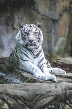 Nature animals photography white tigers Ideas for 2019 Majestic Animals, Rare Animals, Animals And Pets, Wild Animals, Animals Photos, Beautiful Cats, Animals Beautiful, Big Cats, Cats And Kittens