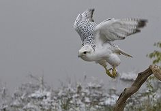 Gyrfalcon takes flight by merigan, via Flickr