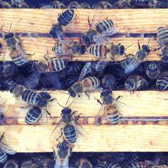 berlinerstadthonig | 2015 Beekeeping, Imker, Bees, Bienen, Hive