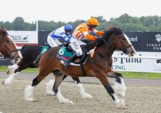 The UK's first ever official shire horse race, the Showerking Flying Feathers Maiden Stakes, 6-15-13.  Joey wins!