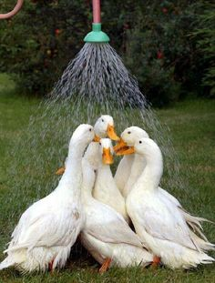 Shower time for the ducks. ❣Julianne McPeters❣ no pin limits
