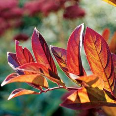 Virginia Sweetspire Enjoy this great shrub for months. In summer, it offers fragrant white flowers. Then in autumn, it develops rich purple-red leaf color. Plus, it's very easy to grow.    Name: Itea virginica    Growing Conditions: Full sun to part shade and moist, well-drained soil    Size: To 10 feet tall    Zones: 5-9
