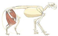 Skeletal Anatomy: Mountain Lion, by John Muir
