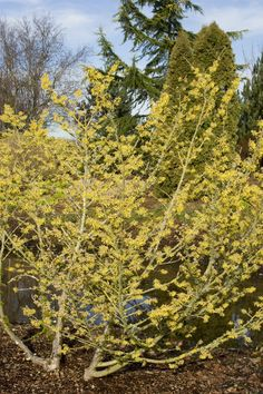 Anatomy Lesson: Winter Surprise Arnold Promise Witch Hazel blooms in December to February. Flowers w Winter Plants, Winter Garden, Deciduous Trees, Trees And Shrubs, Espalier Fruit Trees, Mixed Border, Monrovia Plants, Smelling Flowers, Plant Catalogs