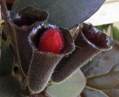 Black Flower Lipstick Plant
