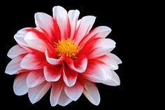 Blossom, Bloom, Red White, Flower pixabay.com